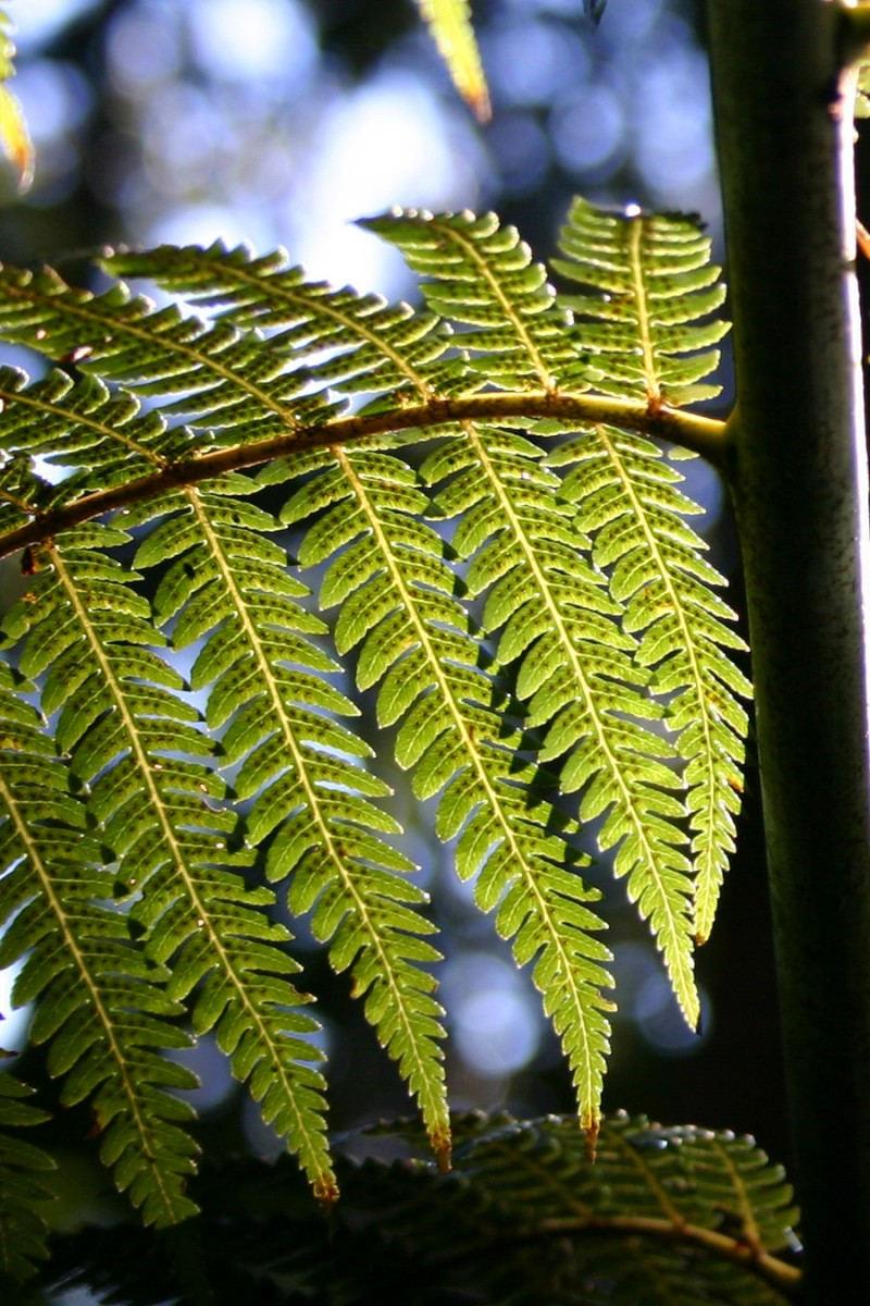 The fern of New Zealand