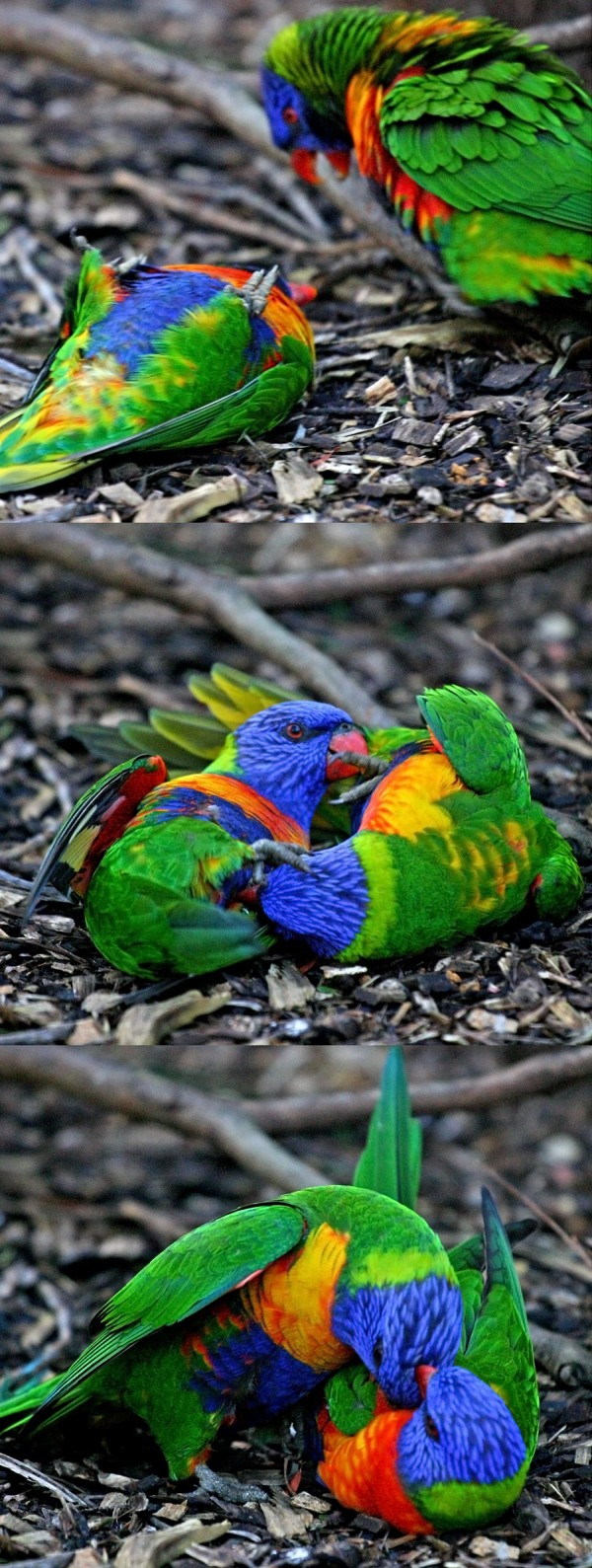 War of the parrots