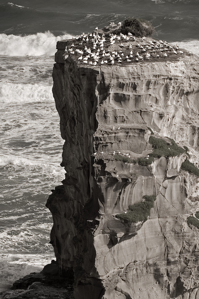 Gannet colony on rock outcropping