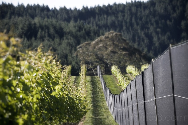 Rows of grape vines and fence