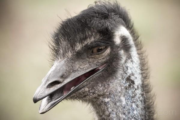 Smiling ostrich portrait