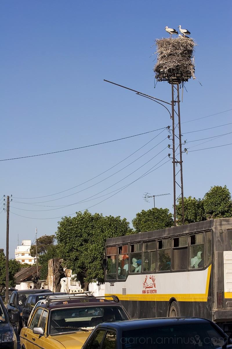 Stork nest in Kenitra