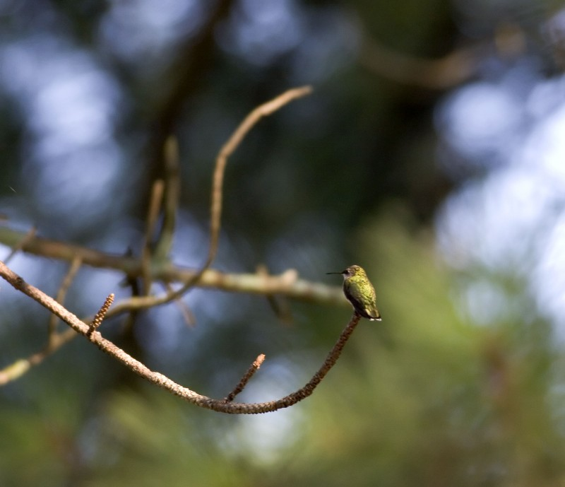 Hummingbird Bokeh