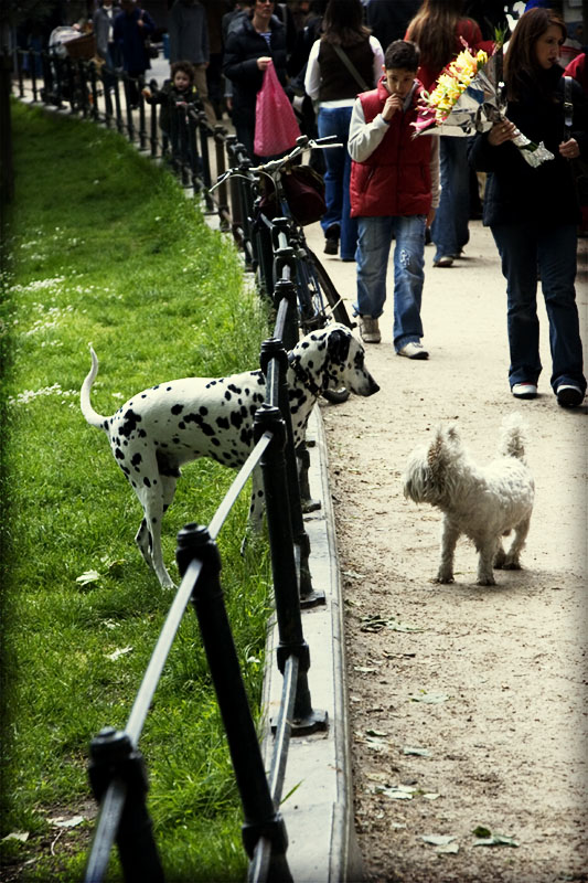 Dalmation Standoff in the Park