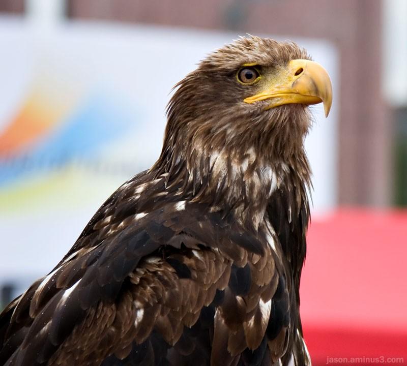Bald Eagle brown feathers eyes beak
