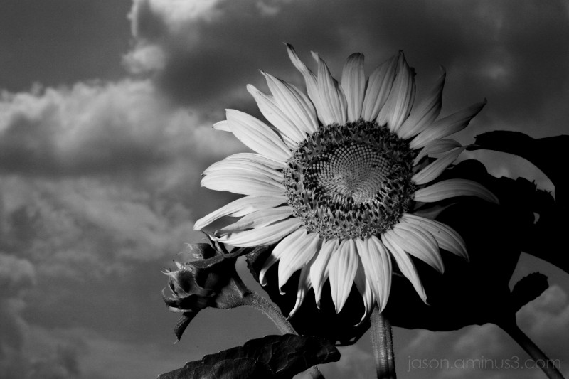 B&W Sunflower