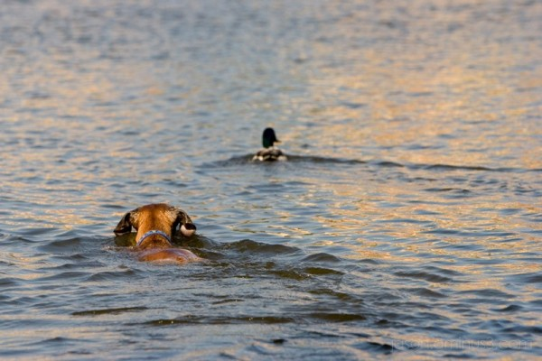 dog swimming after duck