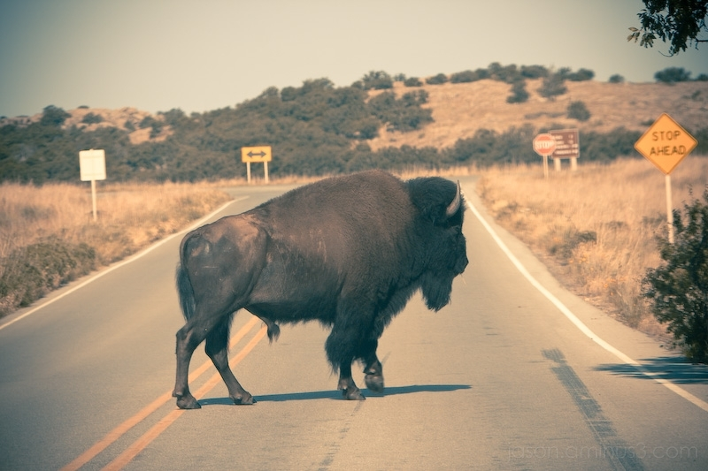 why did the buffalo cross the road