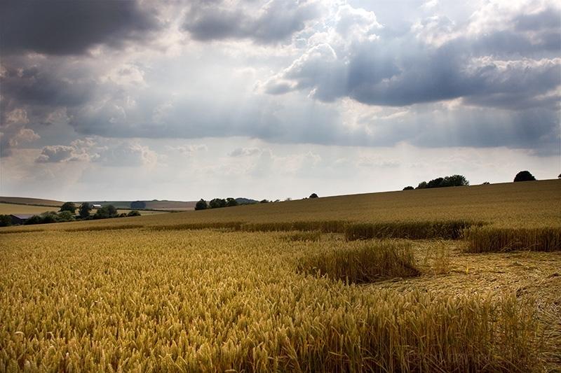 Ouroboros crop  Avebury Wiltshire