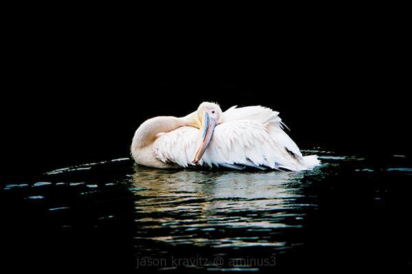 serenity white pelican