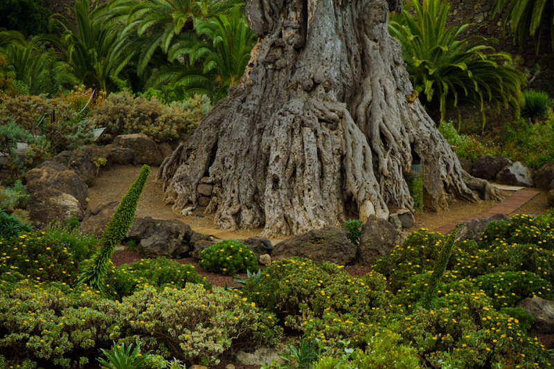 1000 year old tree