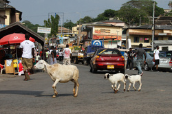 sheep in cape coast