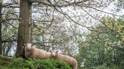 sheep tree