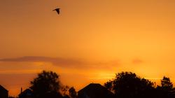 Dove Orange