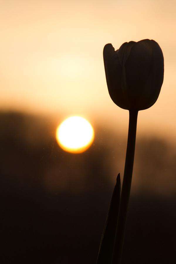 tulip sunrise silouette