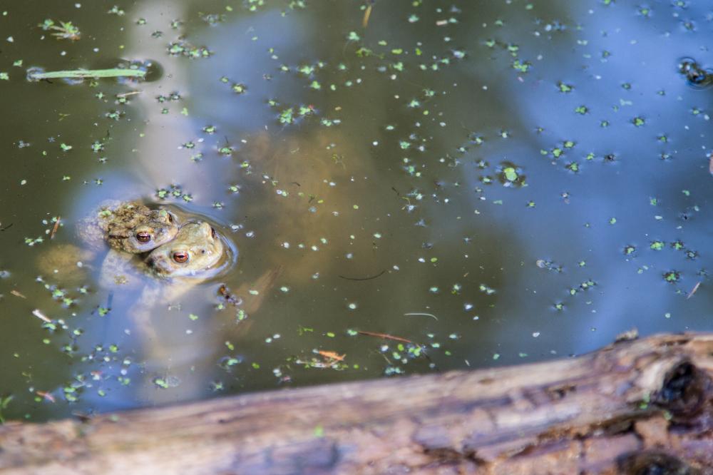 pond toads