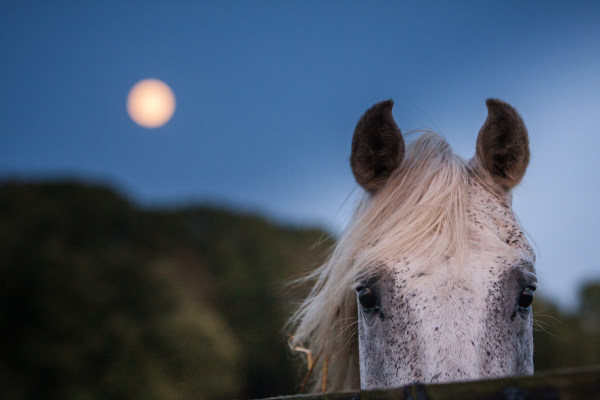 Lipizzaner stallion and super moon