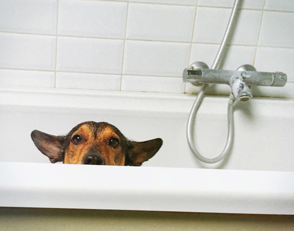 cute jack russell mix in a bathtub