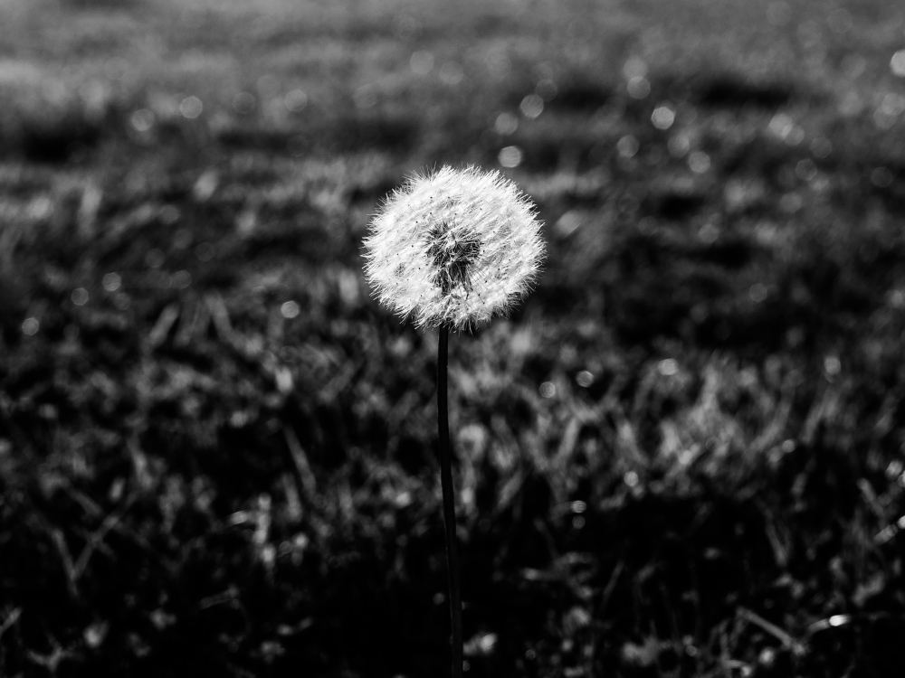 dandelion story part 1