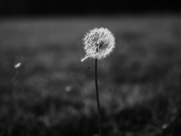 dandelion story part 2