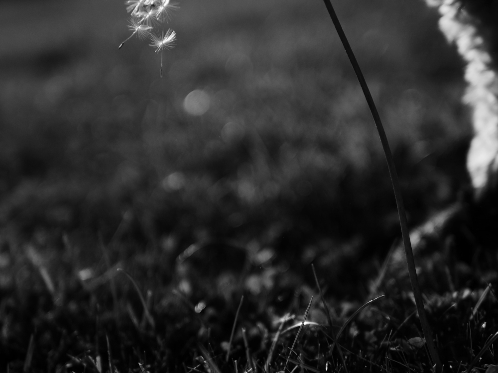 dandelion story part 3