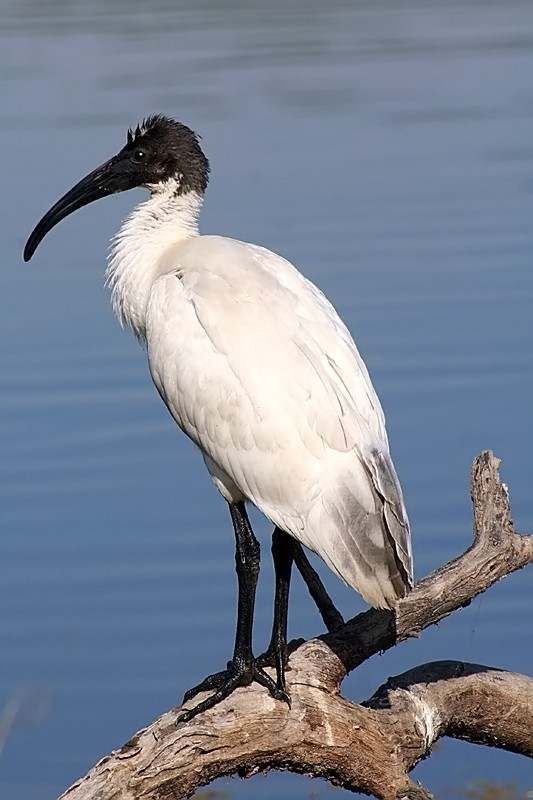 Another bird from Bharatpur