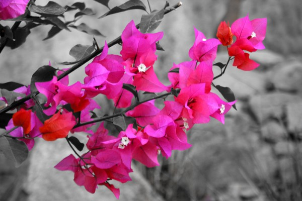 Bougainvillia Flowers !