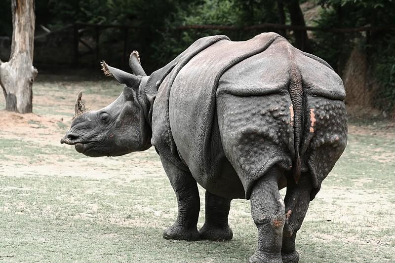 one horned Rhino rhinocerous animal hyderabad zoo