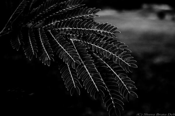 Dark leaves