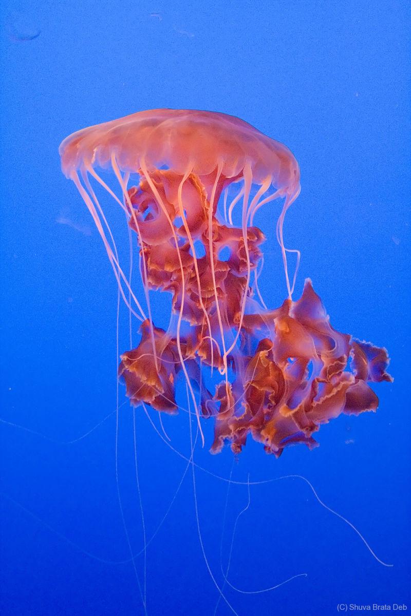 Jelly Fish III
