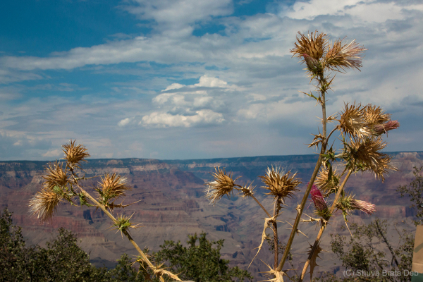 Desert plant @ Grand Canyon