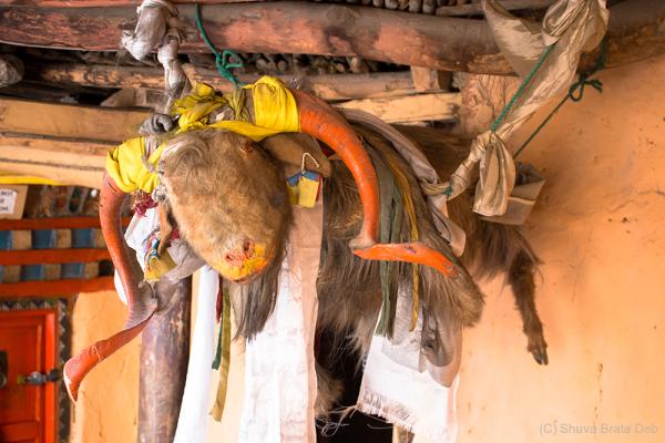 Goat taxidermy inside Dhankar Monastery