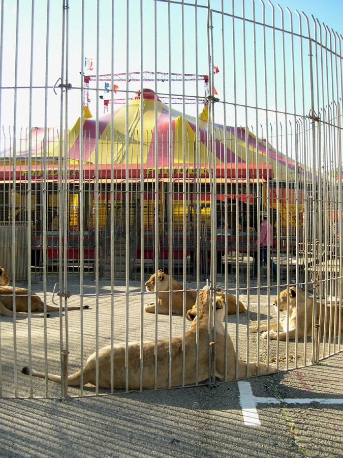 The lionesses and the circus.