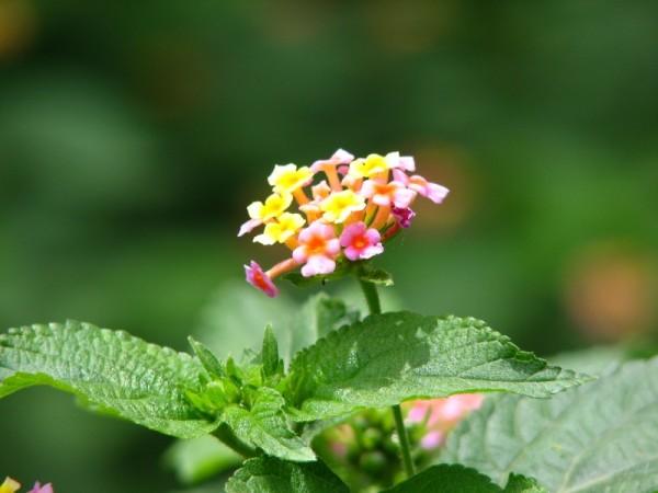 lantana Flower !