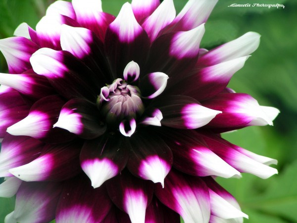 dahlia, flower, bloom, purple, white