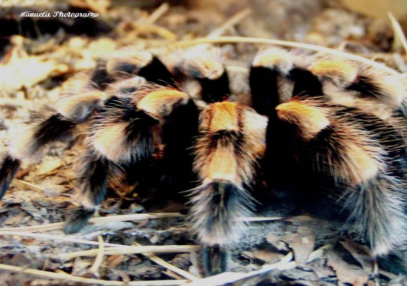 tarantula, spider, terrarium