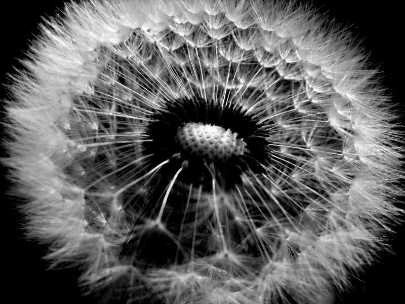 dandelion wind spring seed