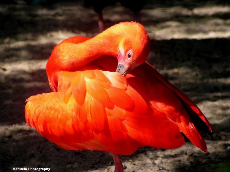 bird red ibis scarlet