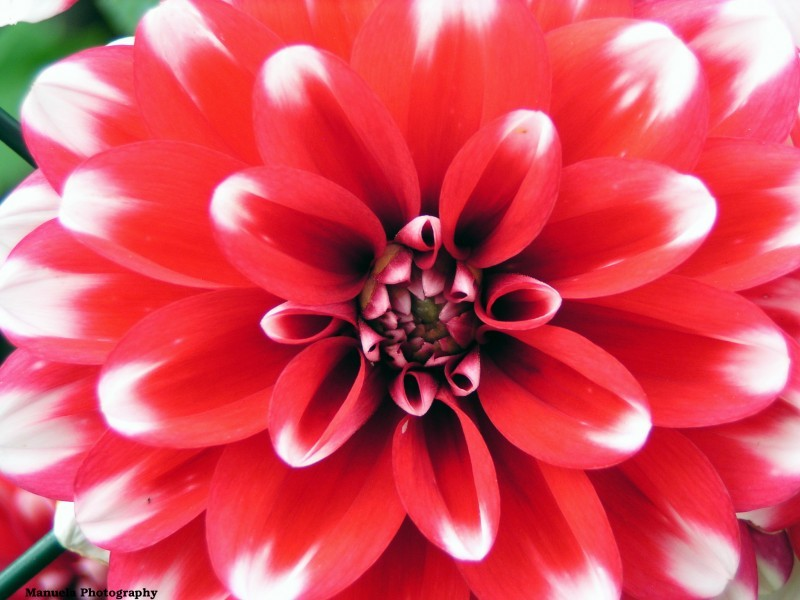 white red flower bloom dahlia