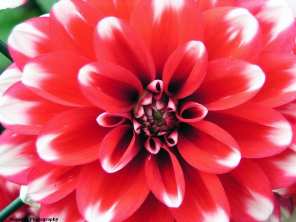 white red flower bloom dahlia