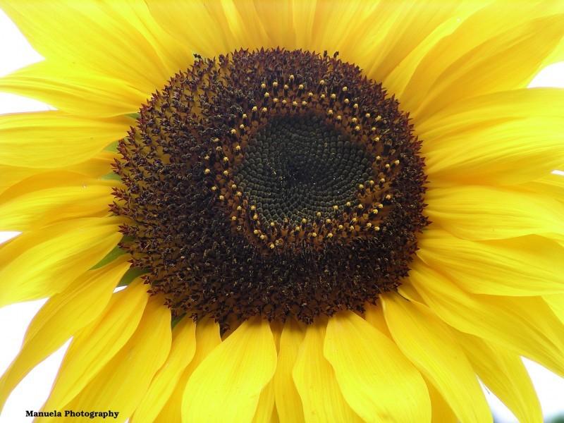 bloom flower sunflower autumn garden fence yellow