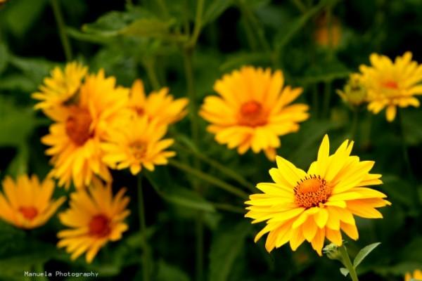 field bloom flowers yellow bright germany bavaria