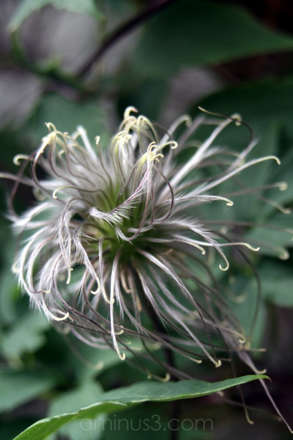 fall flower winter bloom seed clematis