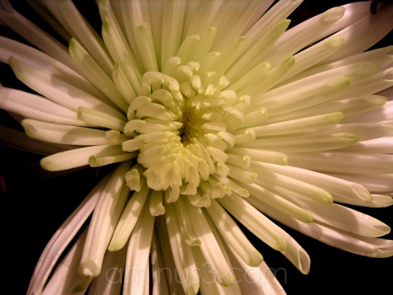 white dahlia bloom flower spring