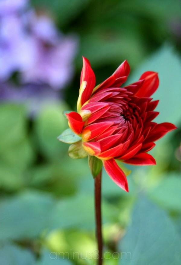 flower bloom dahlia spring red painting garden