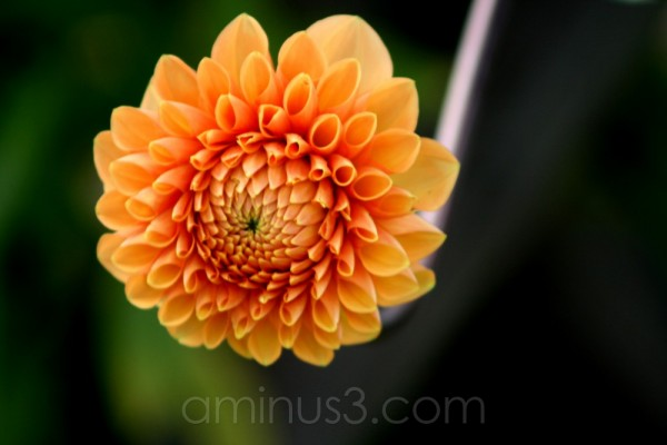 orange dahlia flower bloom garden