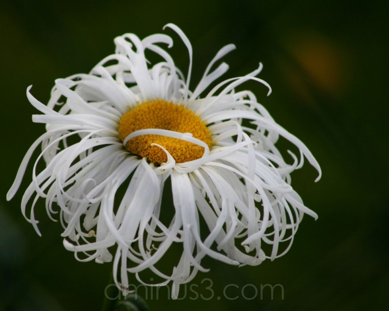 marguerite white curly bloom flower garden spring