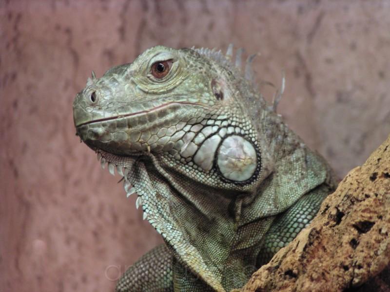 iguana reptile animal oberammergau germany