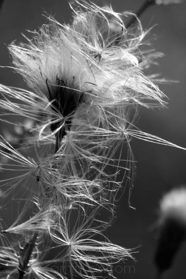 light dandelion country seeds germany fields fluff