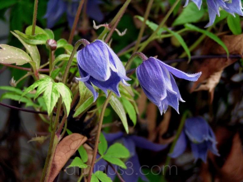 blue flower bloom plant spring clematis